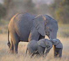 Baby elephants playing...too cute!