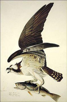 Osprey by John James Audubon