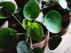 pilea peperomioides ou plante à monaie chinoise
