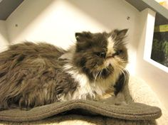 Mustachioed Paulette is a 6 year old Persian available for adoption at OHS right now. Don't let the grumpy face fool you - she is a lover!