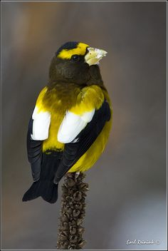 Evening Grosbeak by Earl Reinink on Flickr.