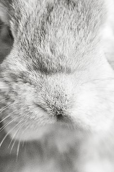 Holland lop, bunny