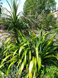Cordylines & Phormiums - Google Search