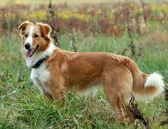 Old-fashioned looking Collie or English Shepherd. Either way, the ES descends in part from the Collie. English Shepherd, Australian Shepherd, Shepherd Dogs, Unique Dog Breeds, Rare Dog Breeds, Welsh Sheepdog, Scotch Collie, Sleeping Animals, Farm Dogs