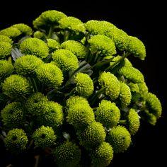 Certi Chrysant Santini Country, groen, bloemen, boeket, Certi #Bloemen, #Planten, #webshop, #online bestellen, #rozen, #kamerplanten, #tuinplanten, #bloeiende planten, #snijbloemen, #boeketten, #verzorgingsproducten, #orchideeën