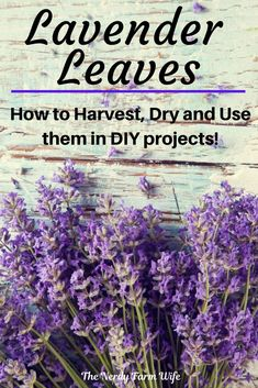 Learn how to harvest, dry and use lavender leaves! Don't just enjoy the beauty of lavender, use them in these 6 recipes! Lavender Uses, Lavender Leaves, Lavender Fields, Lavender Plants, Growing Lavender, Healing Herbs, Medicinal Herbs, Gardening For Beginners, Gardening Tips