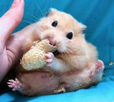 Peanut hamster. A peanut? For me? I accept you!