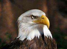 Today I feel like Eagle Face, Bald Eagle, Bird, Animals, Photography, Pictures, Animales, Photograph, Animaux