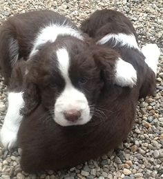 Springer Spaniels - Harry and Duff