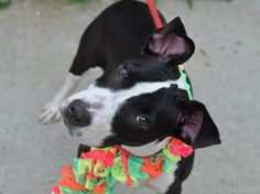 Brooklyn Center    WENDY - A1006430    FEMALE, BLACK / WHITE, PIT BULL MIX, 11 months  STRAY - EVALUATE, NO HOLD Reason STRAY   Intake condition NONE Intake Date 07/12/2014, From NY 11693, DueOut Date 07/15/2014 https://www.facebook.com/photo.php?fbid=837133452966202&set=a.617941078218775.1073741869.152876678058553&type=3&theater +++++++++VERY FRIENDLY++++++++