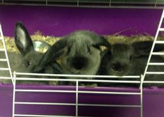 BUNNIES Californian & Holland Lop Mix • Baby • Male • Small Michiana Humane Society and SPCA Michigan City, IN