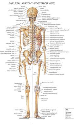 skeleton back