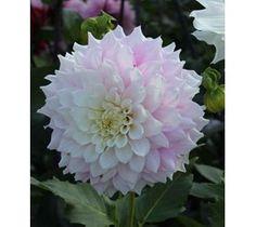 Dahlia Gitt´s Perfection - Storblomstrende dahlia