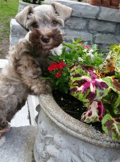 "Obtain fantastic tips on ""schnauzer puppies"". They are readily available for you on our site. Teacup Schnauzer, Miniature Schnauzer Puppies, Schnauzer Puppy, Teacup Chihuahua, Cute Puppies, Cute Dogs, Dogs And Puppies, Most Popular Dog Breeds, Super Cute Animals"