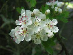 cotton grass flower - Google Search