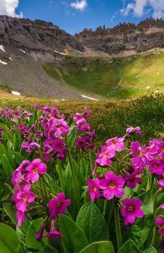 Parry's Primrose adorn Governor Basin in the San Juan Mountains of Colorado