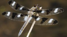 Halton Hills Ontario  Scotsdale Farm  Tenspot Skimmer Libellula pulchella dragonfly   Endless Wildlife