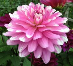 Pink Gingham Dahlia - water lily