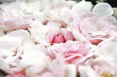 Une variété de roses élaborée par l'hybrideur de fleurs Jérôme Rateau pour Dior.  | Sophie Carles