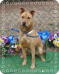 Marietta, GA - German Shepherd Dog Mix. Meet SHEBA - see video, a dog for adoption. http://www.adoptapet.com/pet/12443030-marietta-georgia-german-shepherd-dog-mix