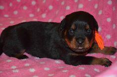 Orange Male #pachecorottweilers #familydog #bestfriend #gentlegiant #mansbestfriend