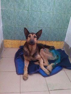 Taki pan Louis u nas mieszka. Pies z tragiczną historią w fatalnym stanie... Jutro więcej informacji... #Dogs #help #shelter #psy #adopcje #pomoc #schronisko