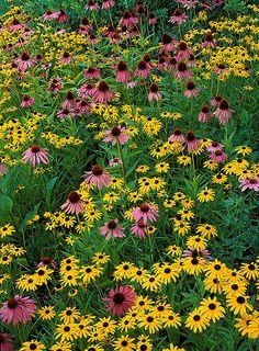 Favorite Plants, Coneflower Black Ey, Black Eye, Adam Photography, Eye Susan, Black Ey Susan, Daisies Leucanthemum, Full Bloom, Coneflower Echinacea