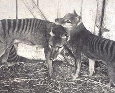 Uit mijn jeugd: net uitgestorven, 'The last known Tasmanian Tigers'. Old Cats, Cats And Kittens, Animals Beautiful, Cute Animals, Beautiful People, Tasmanian Tiger, Extinct Animals, Australian Animals, Weird Creatures