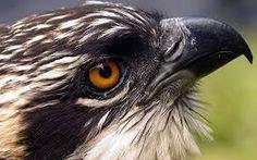 Image result for ospreys