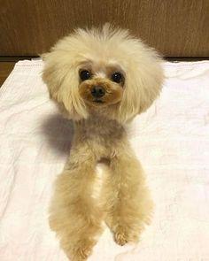 #dog #dogstagram #poodle #ティーカッププードル #teacuppoodle #dogs #dogstagram #doggies #ふわもこ部 #ilovedogs #doggie #doggy #トイプードル #プードル #instadog #dog #dogoftheday