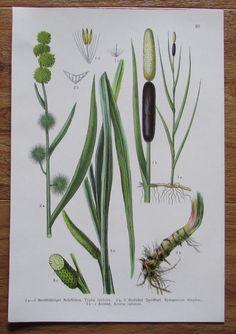 Botanischer Druck - Pflanzen Botanik Druck Atlas des Pflanzenreichs ca. 1920 20 Antique Prints, Botanical Illustration, Drawing S, Cactus Plants, Plant Leaves, Herbs, Antiques, Sweet, Nature