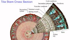 tilia stem cross section Plant Tissue, Wood Bark, Biology Teacher, College Classes, Nature Plants, Science Education, Science And Nature, School Projects, Botany