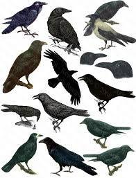 Image result for rook birds