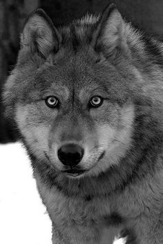 stare of the wolf