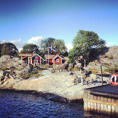 Cuando llegamos a Bullerö las ovejas salieron a recibirnos