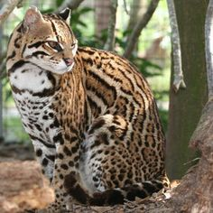 Wild Cat - ocelots Photo