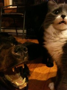 A cats reaction to a real bear rug http://hugelol.org/lol/72728