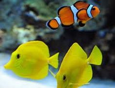 Yellow Tangs and a Clown Fish