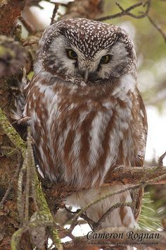 Boreal Owl - Didn't even know about these till I saw one with Uncle Kent.