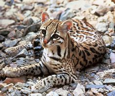 Fewer Than 100 Ocelots Likely Remain in United States  -  Title: Ocelot_USFWS_Tom_Smylie_.jpg Please Credit the Following:  Tom Smylie / USFWS