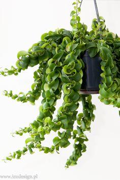 Hoya hindu rope