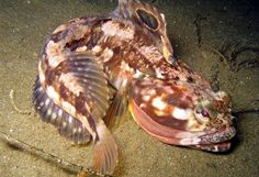 The sarcastic fringehead (Neoclinus blanchardi) is a small but ferocious fish which has a large mouth and aggressive territorial behavior, for which it has been given its common name. They can be up to 30 centimetres long.