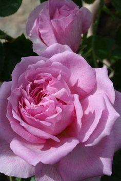 "Rose "" Trevor Griffiths "" , (AUSold) , David C. H. Austin (United Kingdom, before 1994)"