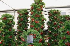 Gardening Advice Everyone Must Be Aware Of – Greenhouse Design Ideas Balcony Garden, Garden Plants, Above Ground Garden, Tube Pvc, Strawberry Tower, Strawberry Patch, Winter Greenhouse, Modern Agriculture, Growing Fruit Trees