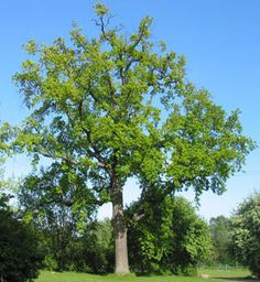 EIK - Quercus robur