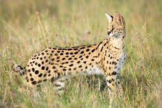 Serval (Leptailurus serval) have world population size at approximately 3000 -3500 individuals (2009) and have a weight that can exceed 18 kg. The species is today (2013) listed at the ICUN Red List as vulnerable.