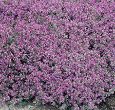 Thym serpolet | Fleurs Annuelles Utiliser comme couvre-sol. Supporte le piétinement.
