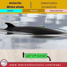 Specie Profile  English Name: #Antarcticminkewhale Scientific Name: #Balaenopterabonaerensis  Class: #MarineMammal  Order: #Cetacean  Sub-Order: #Mysticeti  Family: #Balaenopteridae  Type: #Whale        Study Options  #MarineScience #MarineBiology #MarineConservation #MarineEcology #Mammalogy       Career Paths  #Veterinarian #Biologist #Ecologist #Aquarist #Scientist      Where to see?  #Patagonia #Chile #Brazil #Togo #SouthAfrica       Experience the feelings!  #Wildlife #Adventure #Ocean…