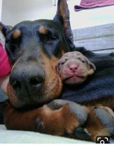 The Doberman Pinscher is among the most popular breed of dogs in the world. Known for its intelligence and loyalty, the Pinscher is both a police- favorite I Love Dogs, Cute Dogs, Black And Tan Terrier, Doberman Pinscher Puppy, Pitbull, Doberman Love, Blue Doberman, Baby Puppies, Beautiful Dogs
