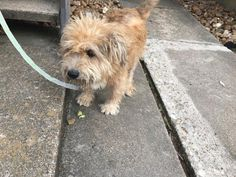 01/25/17-HOUSTON - SUPER URGENT -SAMMIE - ID#A476475 My name is SAMMIE I am a male, brown Cairn Terrier. The shelter staff think I am about 4 years old. I have been at the shelter since Jan 25, 2017. This information was refreshed 8 minutes ago and may not represent all of the animals at the Harris County Public Health and Environmental Services.